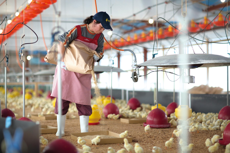 NATURE FUTURe 生姜スープに使っているニワトリの飼育の写真